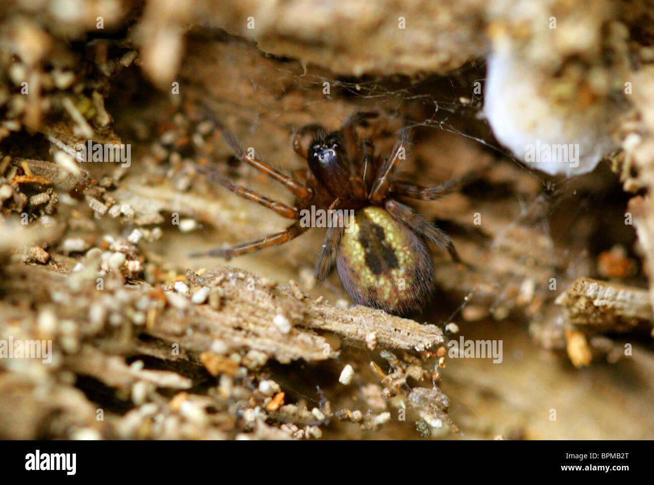 Lace Webbed Spider, Amaurobius similis, Amaurobiidae, Araneae, Arachnida - Stock Image