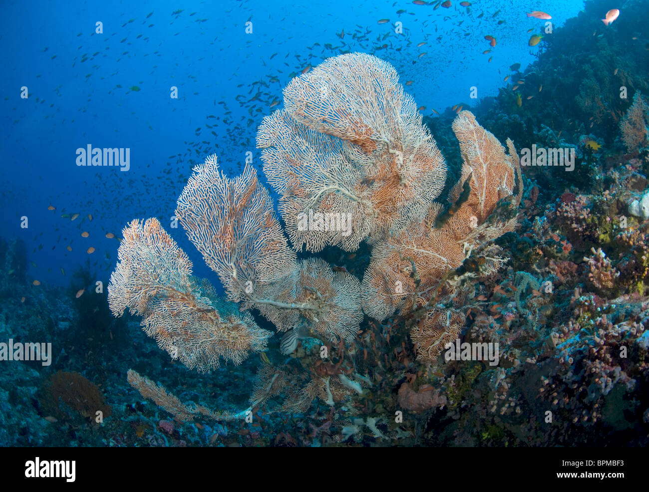 Sea fans on coral reefs, Puerto Galera, Philippines, Pacific Ocean - Stock Image