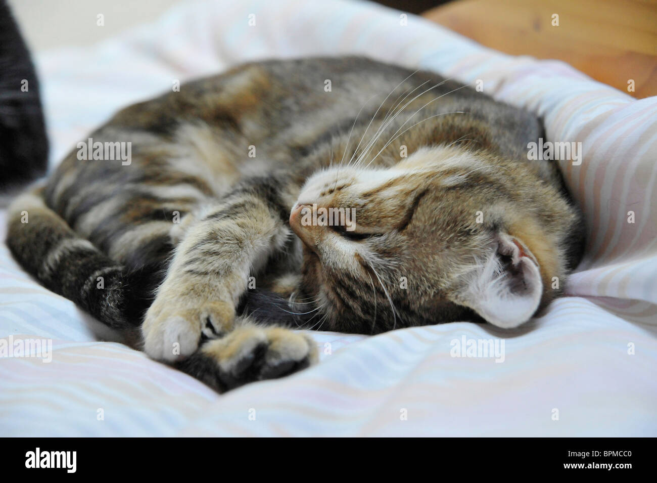 Funny animals young tabby cat sleeping