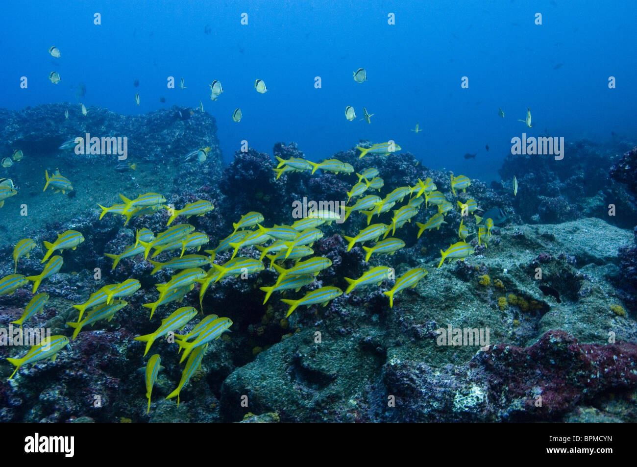 Yellow-tailed Goatfish  off of Wolf Island, Galapagos Islands, Ecuador. Inhabit sandy areas. Solitary or in groups. - Stock Image