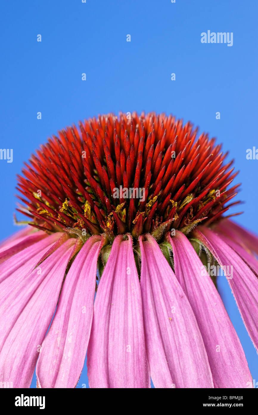 Echinacea purpurea (Eastern purple coneflower or Purple coneflower) - Stock Image