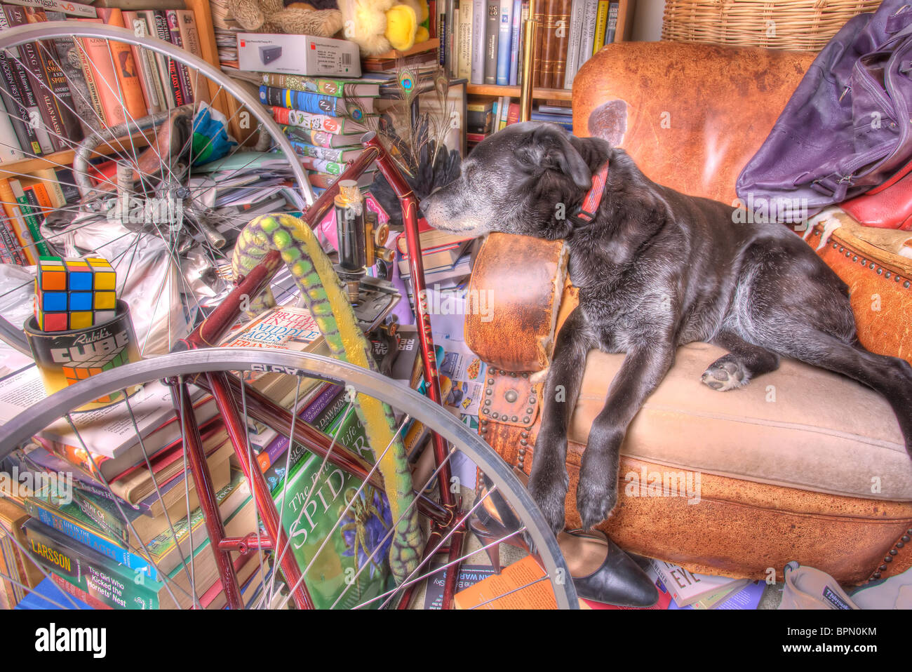 Lucy, the rescue dog, asleep in her favorite armchair. - Stock Image