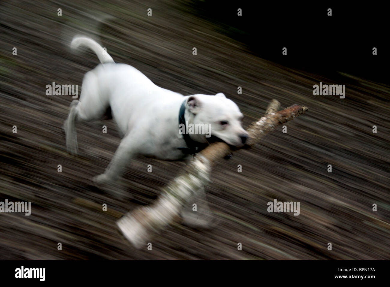 Staffordshire Bull Terrier running with a large stick - Stock Image