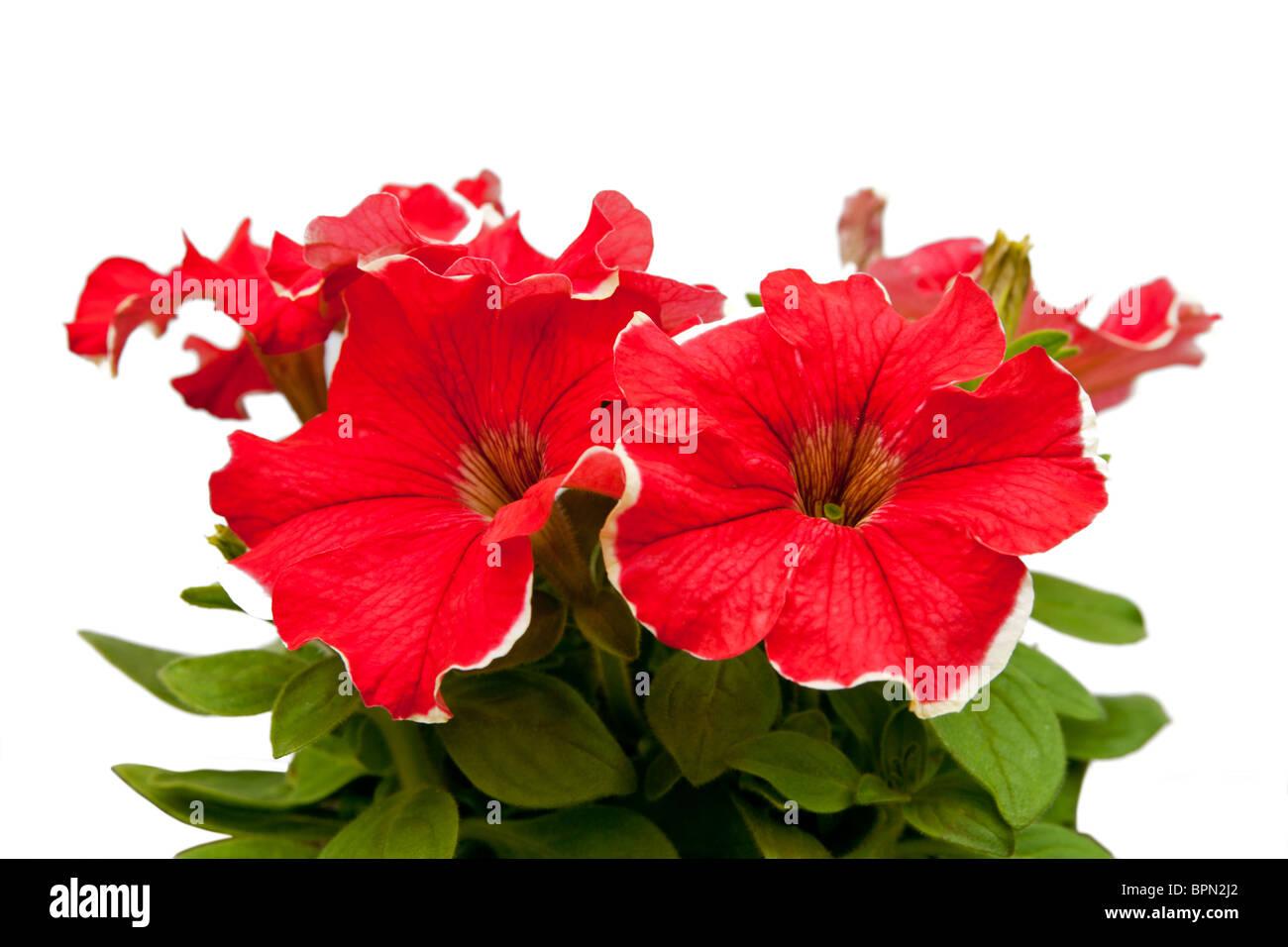 hothouse plant a petunia for landscape design - Stock Image
