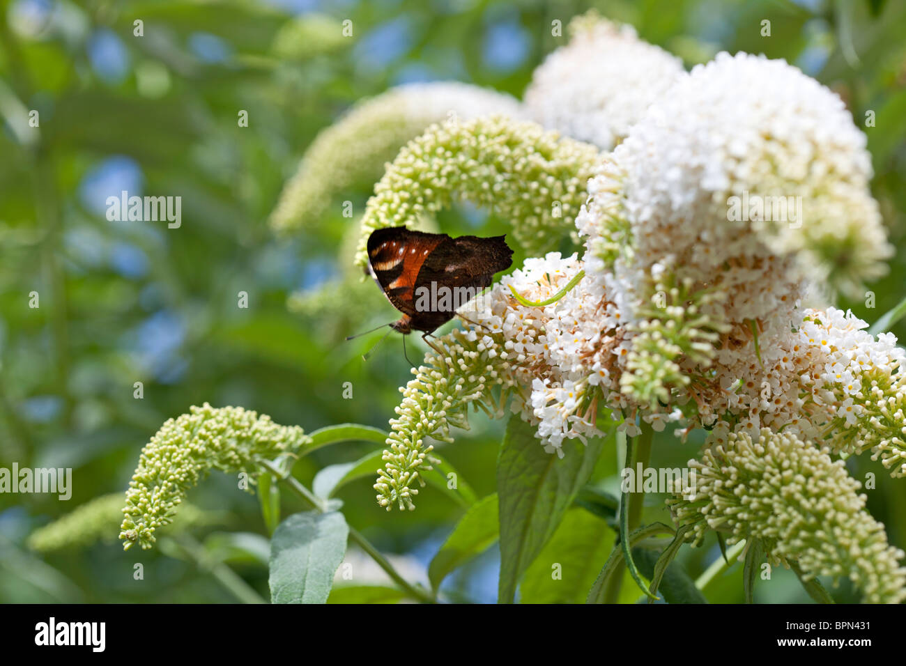 Peacock butterfly on Buddleja davidii 'Les Kneale' photographed in Yorkshire UK Stock Photo