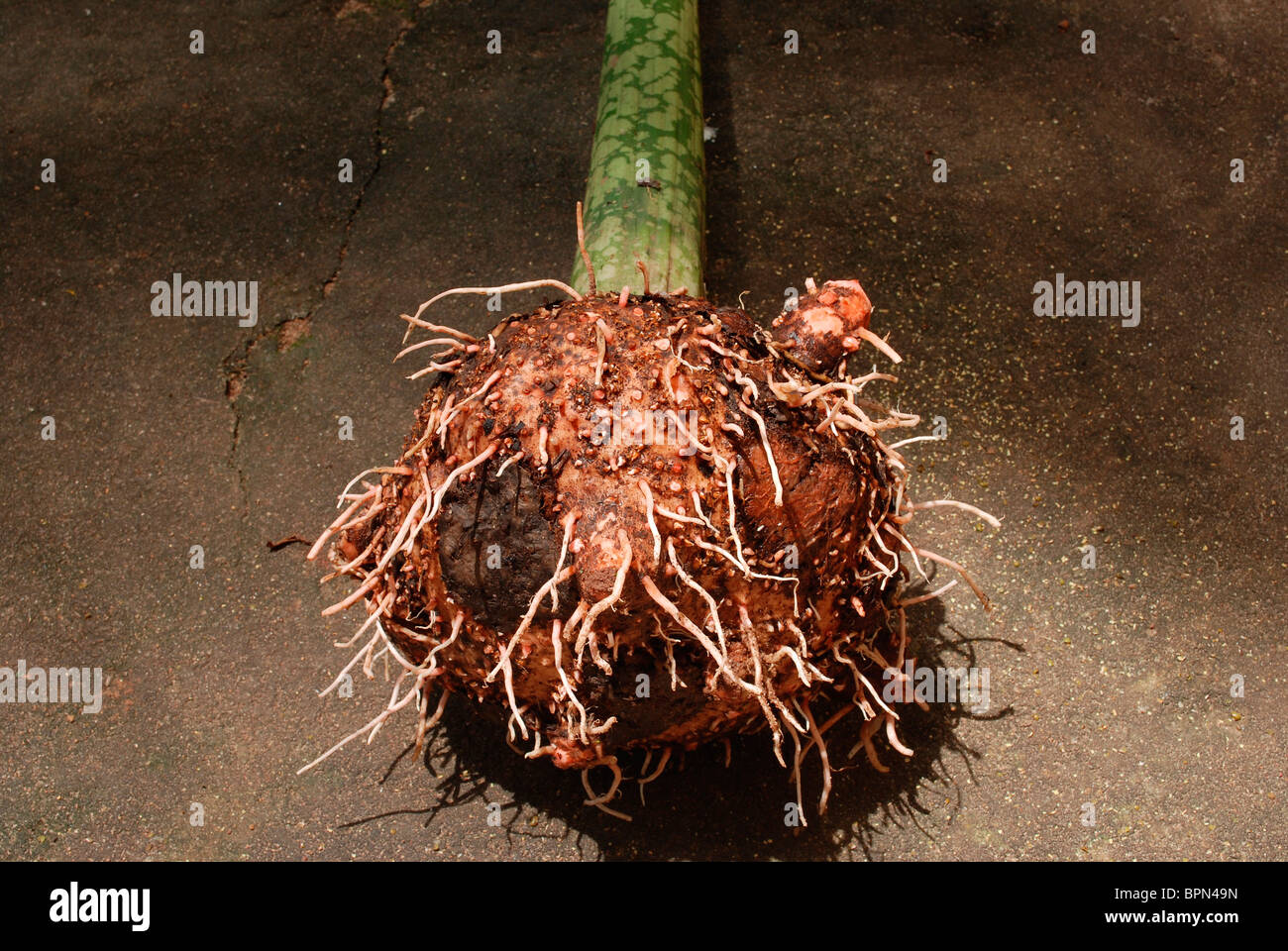 a plant root - Stock Image
