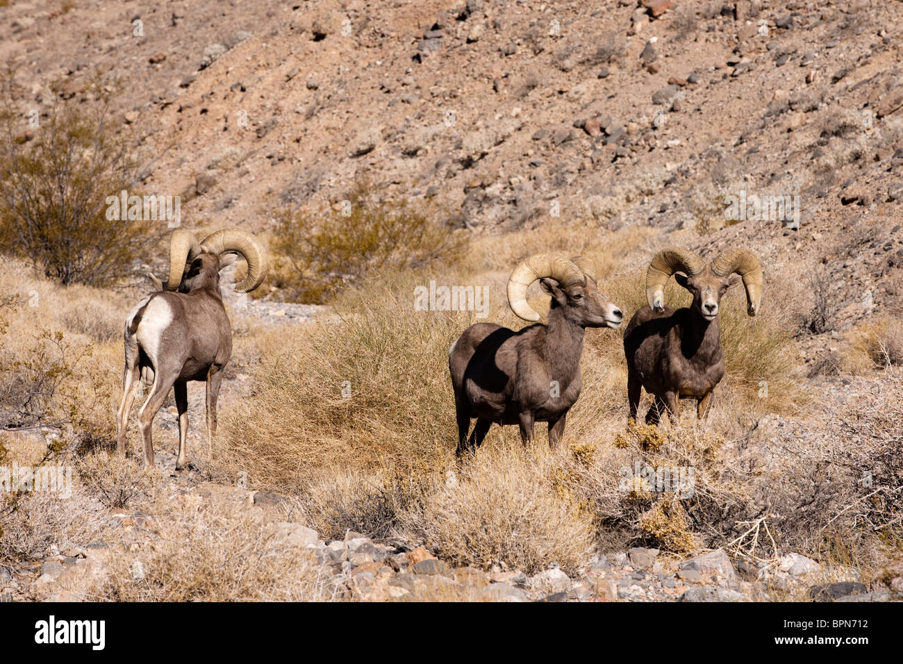Bighorn sheep, Ovis canadensis, Death Valley National Park, California, USA - Stock Image