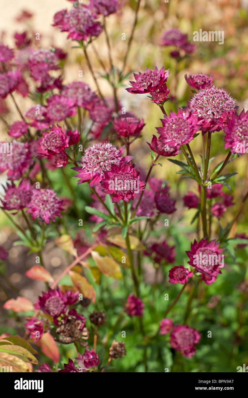 Astrantia 'Sheila's Red' in late August - Stock Image