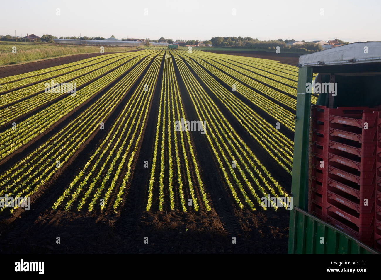 Cultivated rows of newly transplanted Lettuce in market garden field ...
