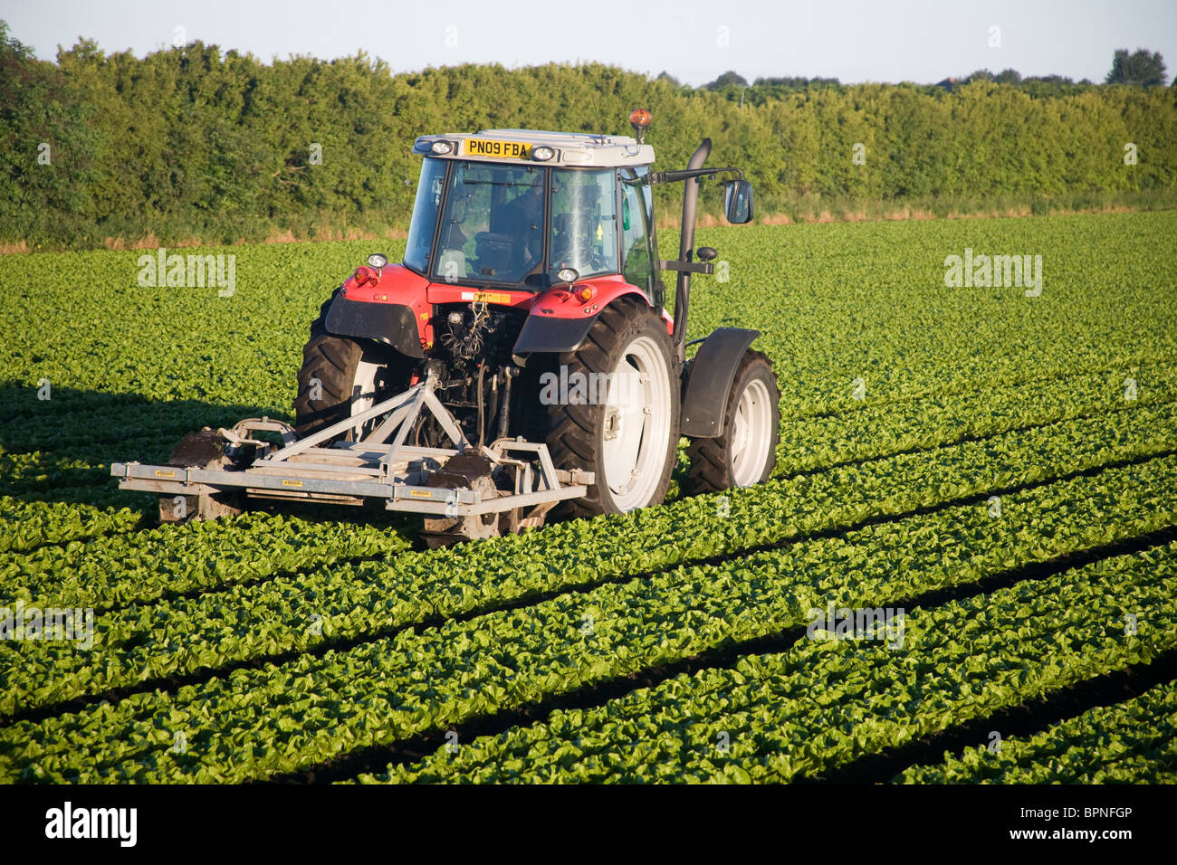 Agricultural machinery a Massey Ferguson Tractor  dragging a dammer _Growing lettuce in Tarleton, West Lancashire, - Stock Image