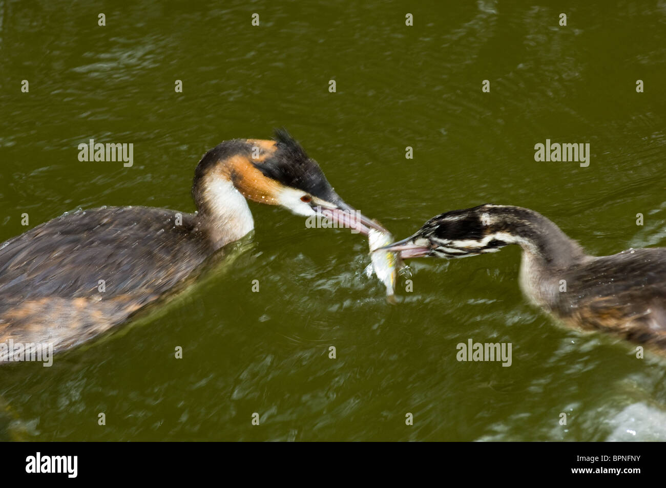 Adult Great Crested Grebe feeding a fish to a young chick - Stock Image