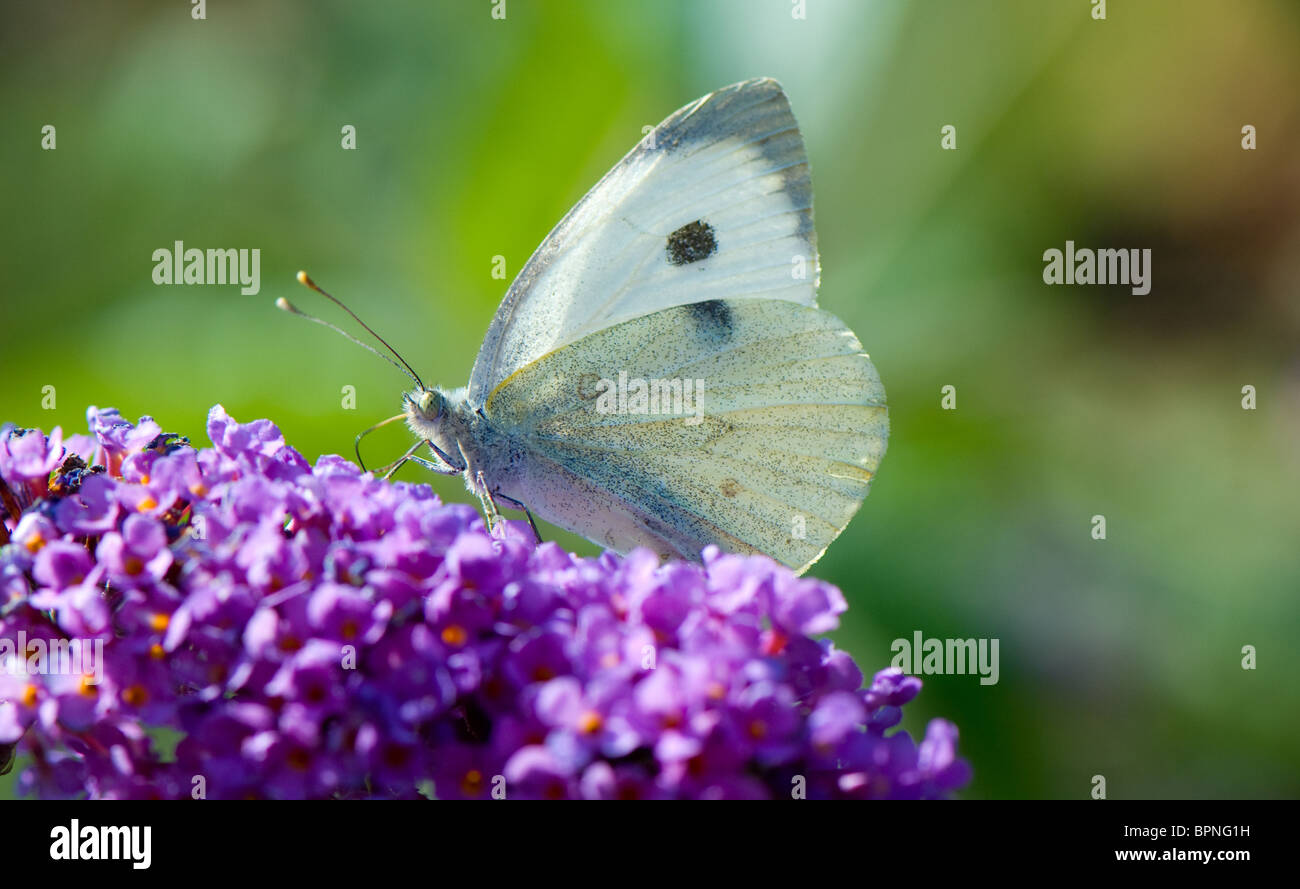 Close-up of a Small White butterfly feeding off nectar from a buddleia flower - Stock Image