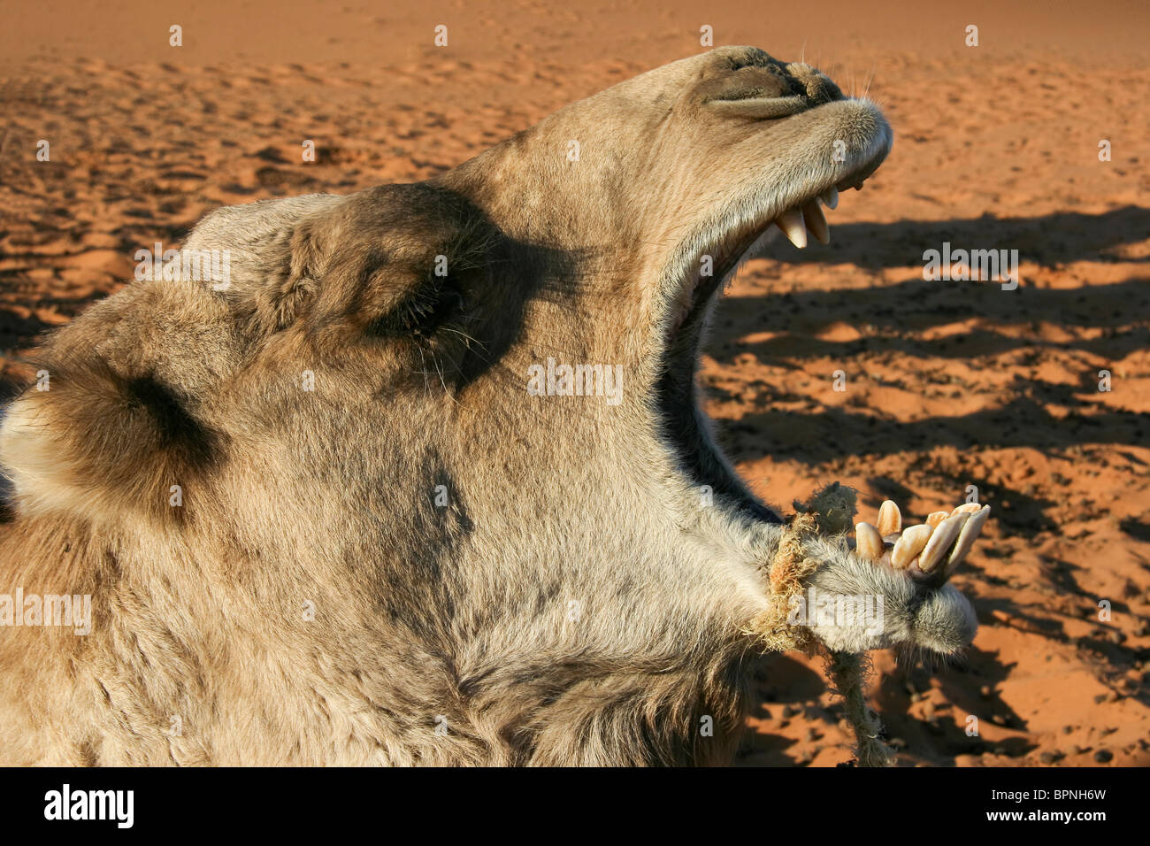 Touristic highlight: camel rides and desert trekking in the Moroccan sand dunes of Erg Chebbi, Western Sahara. - Stock Image