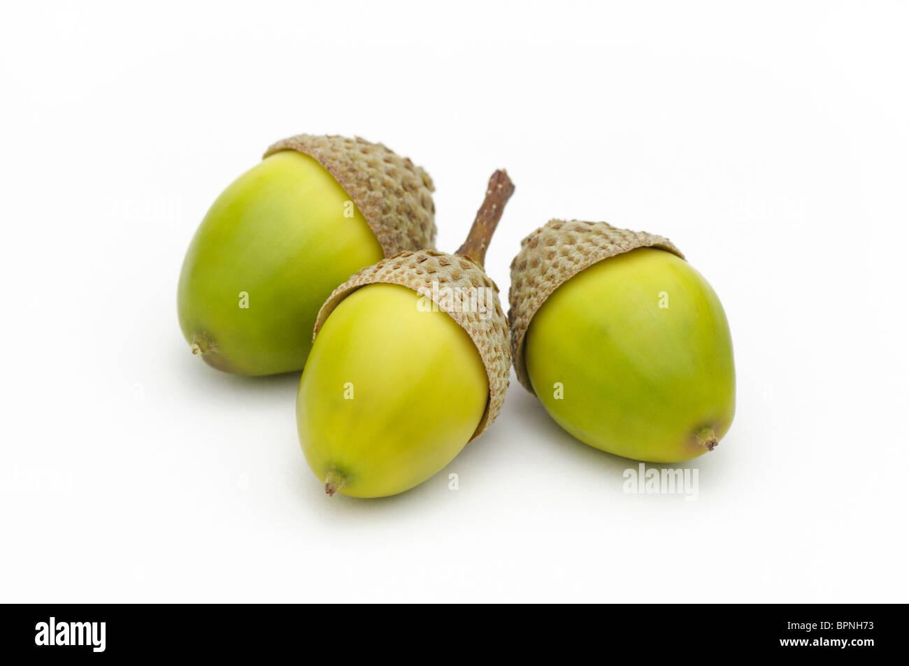Three acorns from chestnut oak, Quercus prinus - Stock Image