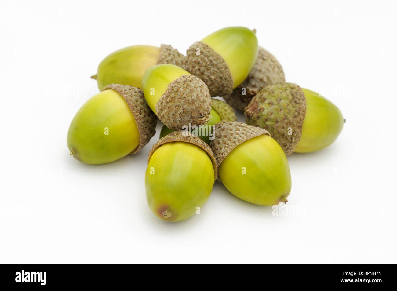 Pile acorns from chestnut oak, Quercus prinus - Stock Image
