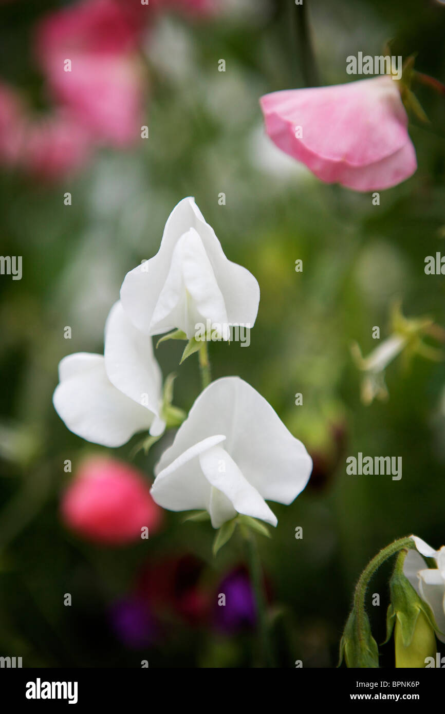 A close up of fully bloomed sweetpeas growing in a garden. - Stock Image