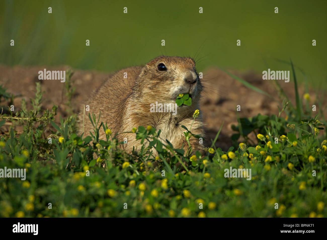 Blacktail Prairie Dog (Cynomys ludovicianus) Wyoming - USA - Stock Image