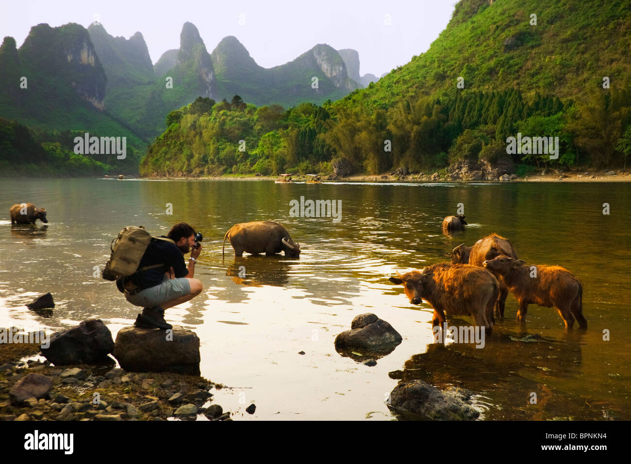 A tourist takes a picture of a buffalo in Yangshuo, Guangxi Province, China. Asia Stock Photo