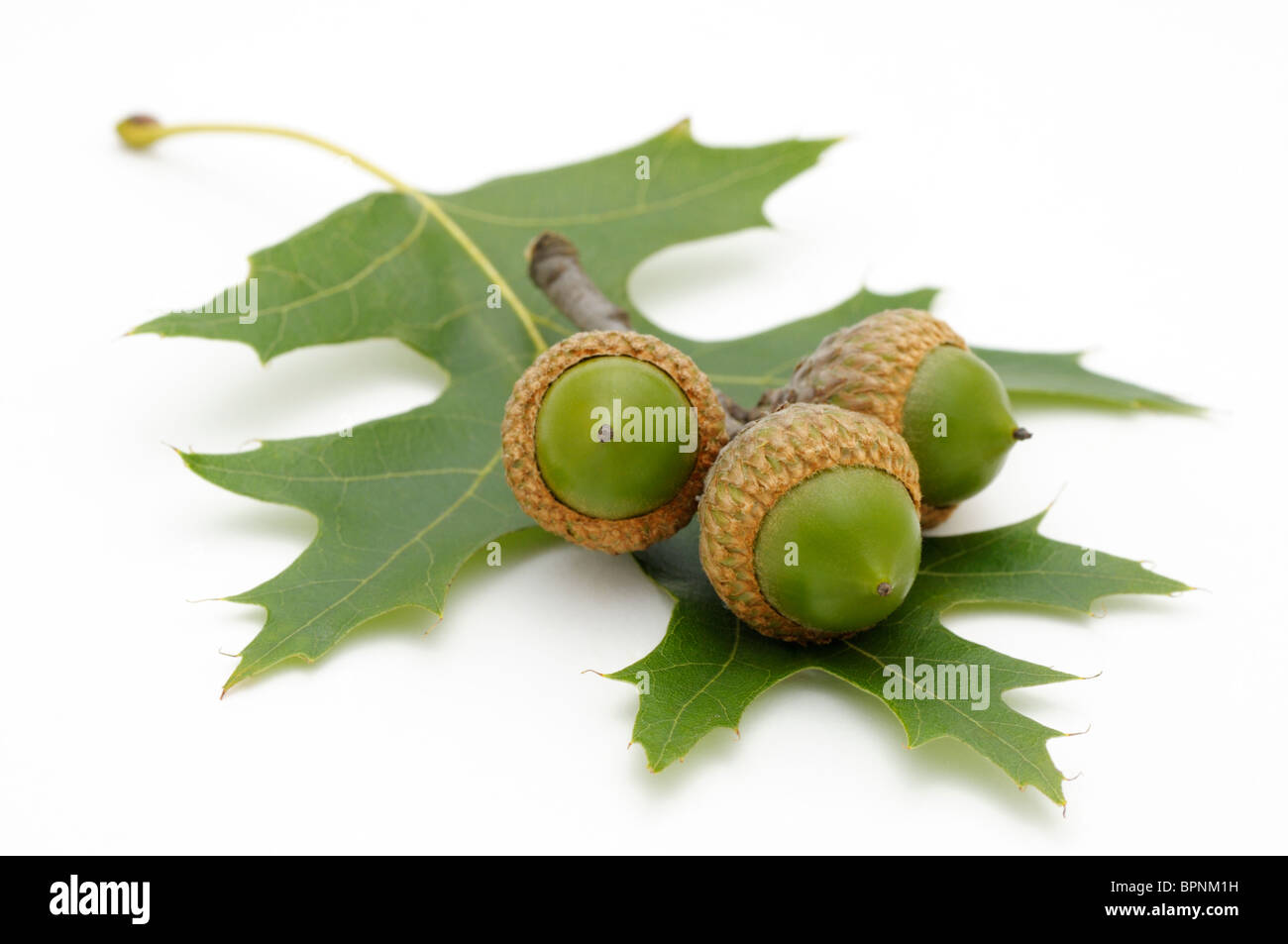 Three acorns and a leaf from northern red oak, Quercus rubra. - Stock Image