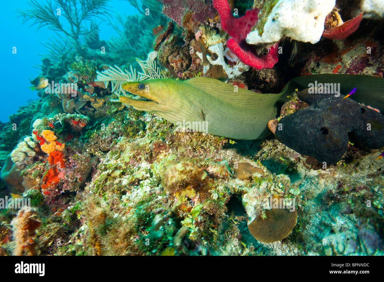 Green Moray Eel, Roatan Marine Park, Caribbean Scuba Diving, Roatan, Bay Islands, Honduras, Central America - Stock Image