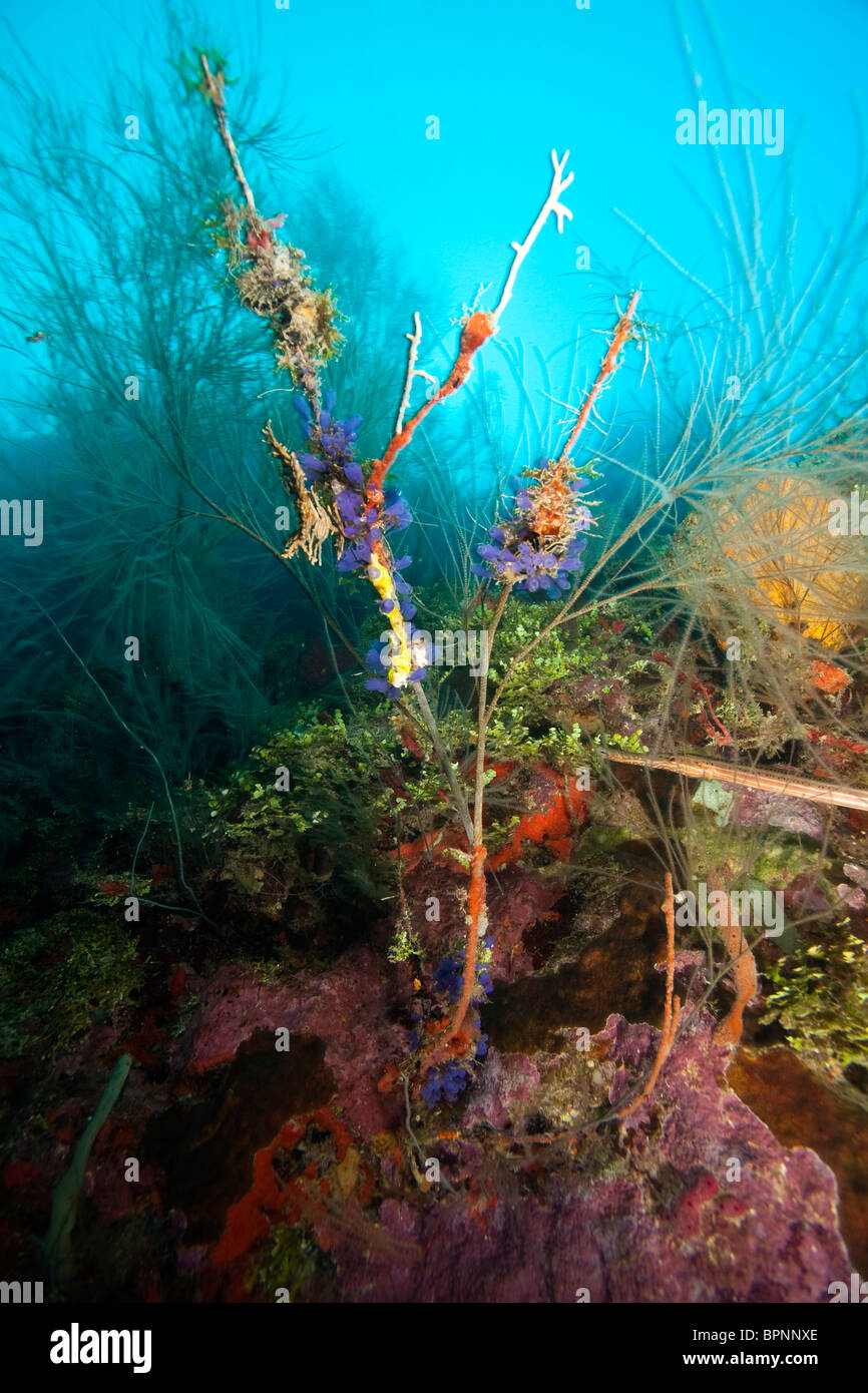 profuse encrusting spong and gorgonians on the South Side of Utila, Bay Islands, Honduras, Central America - Stock Image