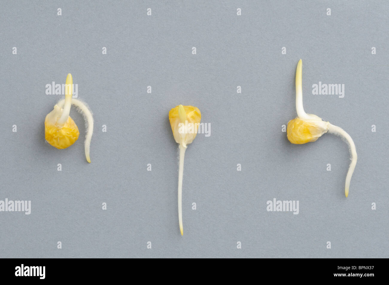 corn seed germination - Vatoz.atozdevelopment.co