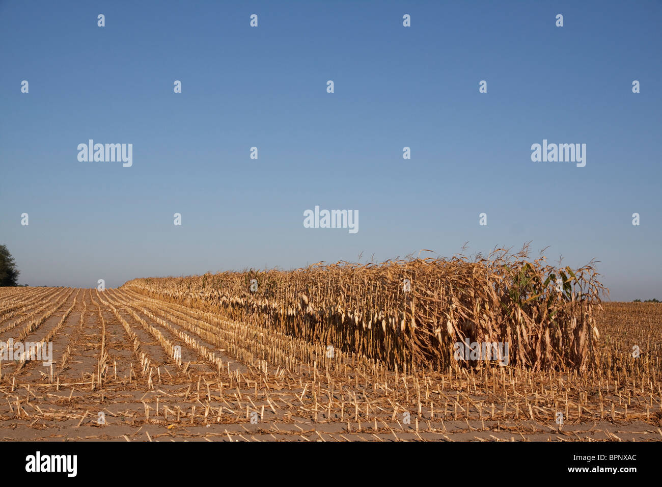Harvest of Field Corn field Michigan USA - Stock Image