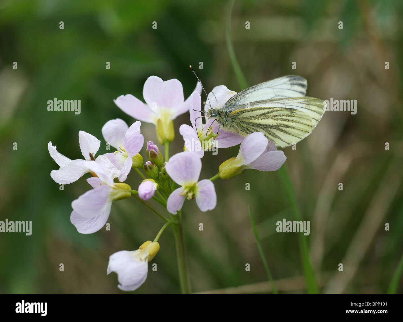 A close up of a Green Veined White (Pieris napi) butterfly on a Cuckooflower or Lady's Smock flower (Cardamine - Stock Image