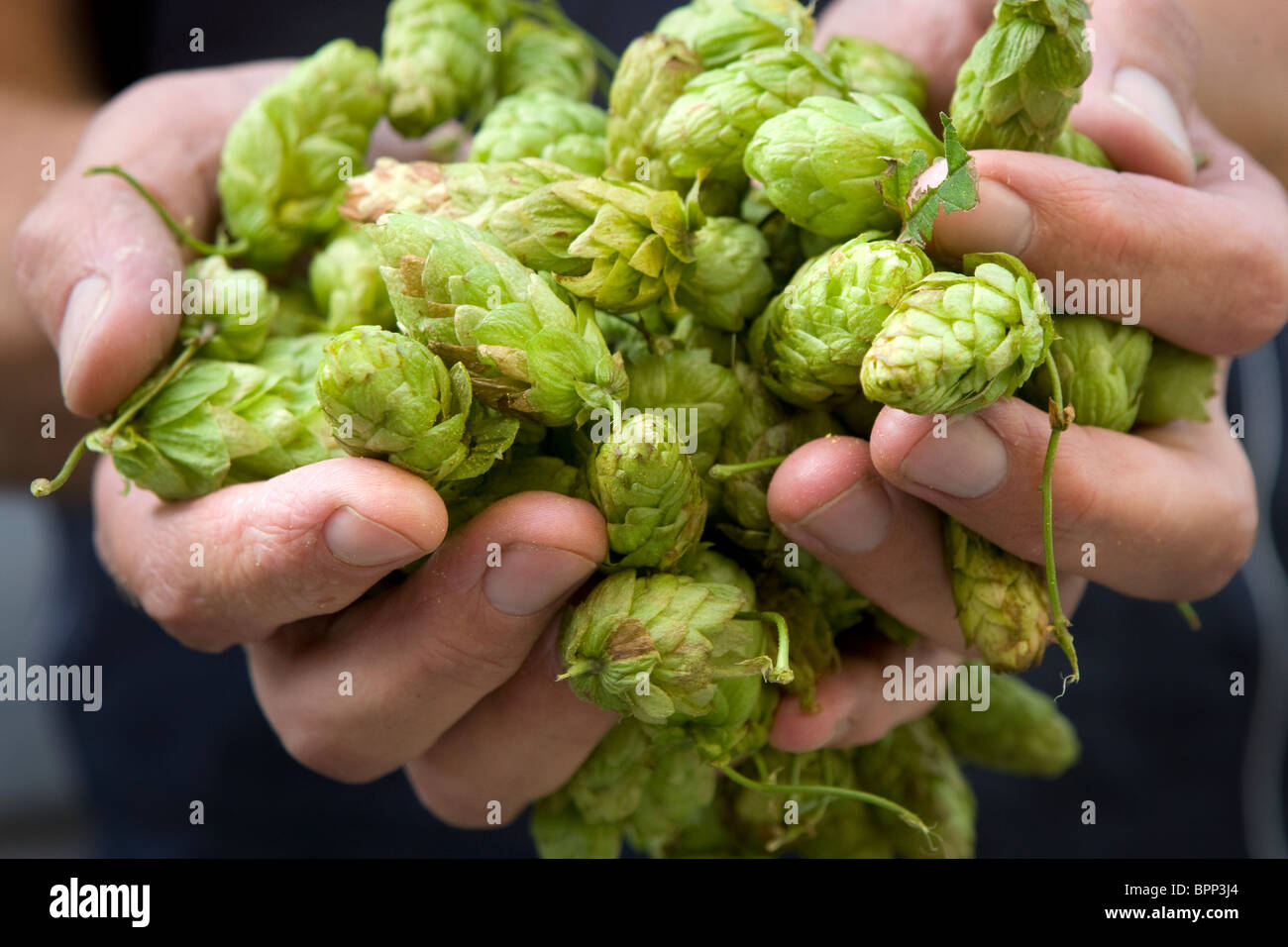 Close-up of a brewer holding freshly picked hops in both hands. - Stock Image