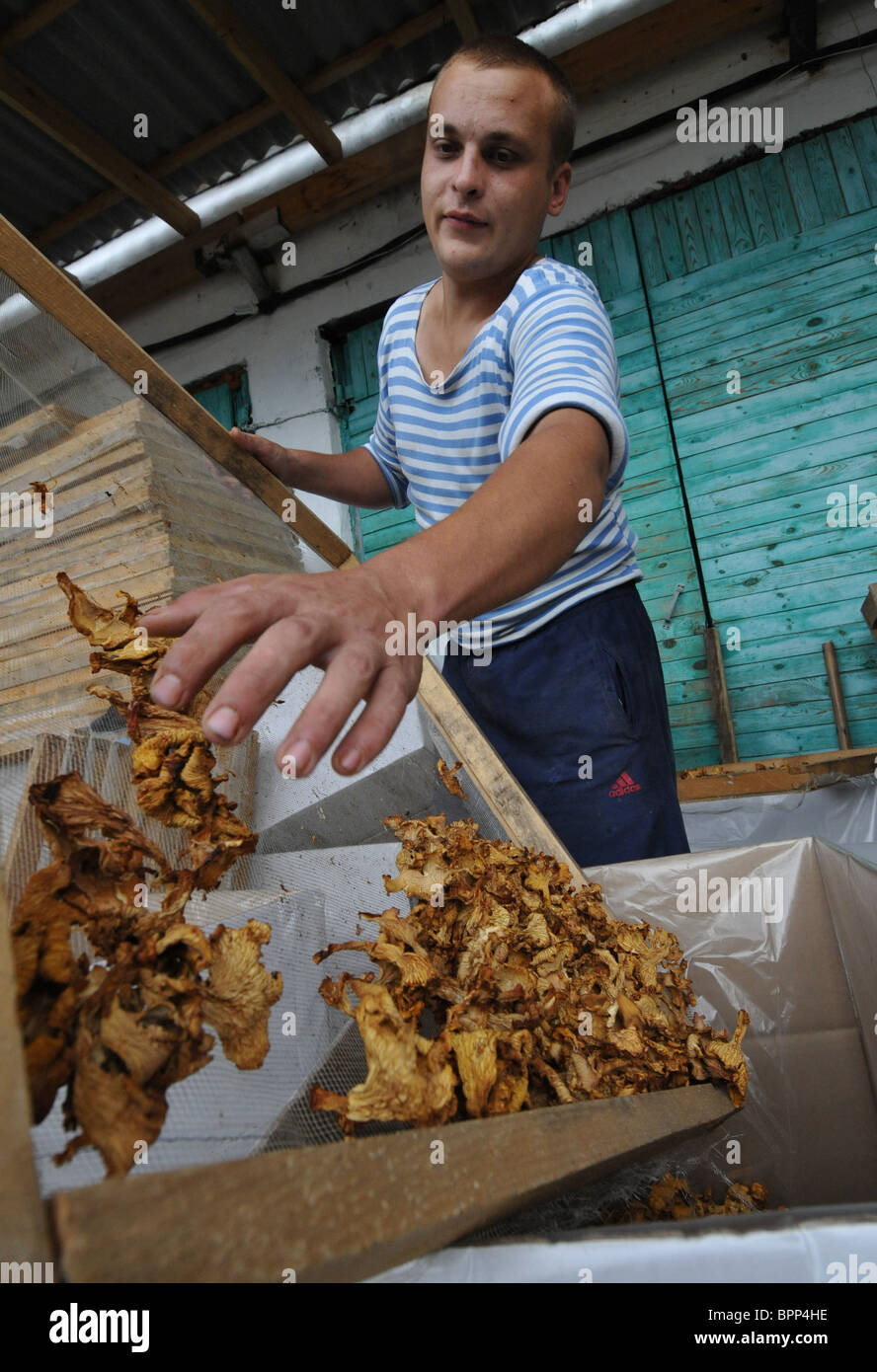 Mushrooms to dealers for processing - Stock Image