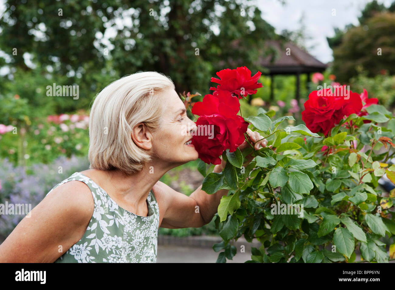 Woman smells red rose in rose garden - Stock Image