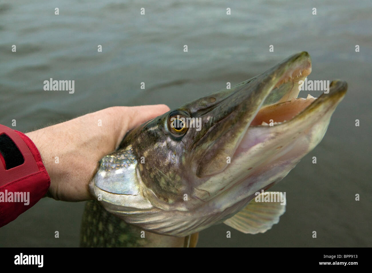 The head of a Northern Pike, Esox lucius, caught in the lake Vansjø in southeastern Norway Stock Photo