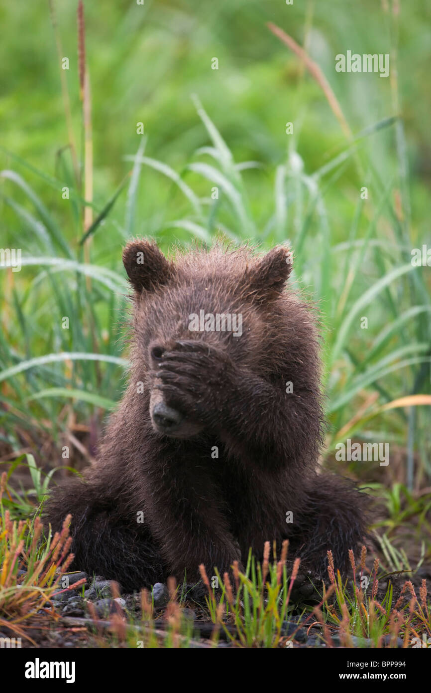 A Brown or Grizzly Bear spring cub, Lake Clark National Park, Alaska. - Stock Image