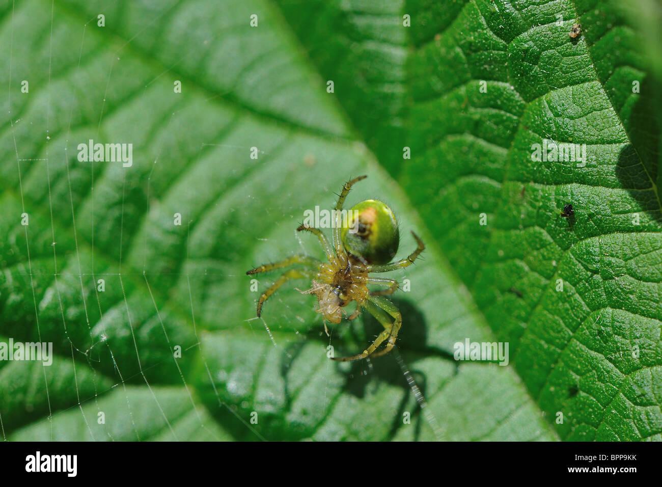 Cucumber spider - Cucumber green spider (Araniella cucurbitina) eating a prey - Stock Image