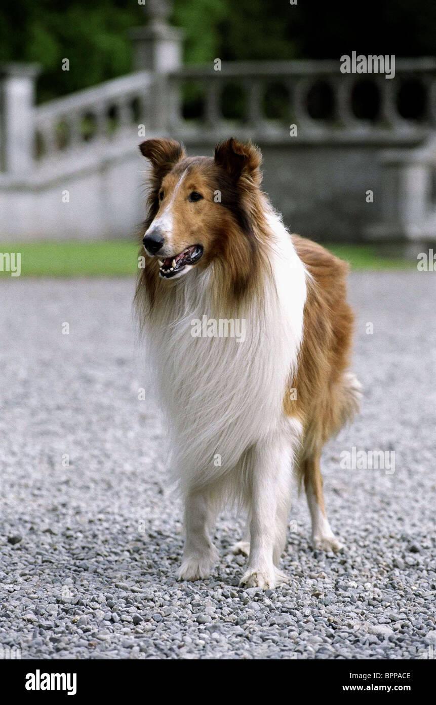 Roddy Mcdowall And Elizabeth Taylor Lassie Dog Film Stock ...