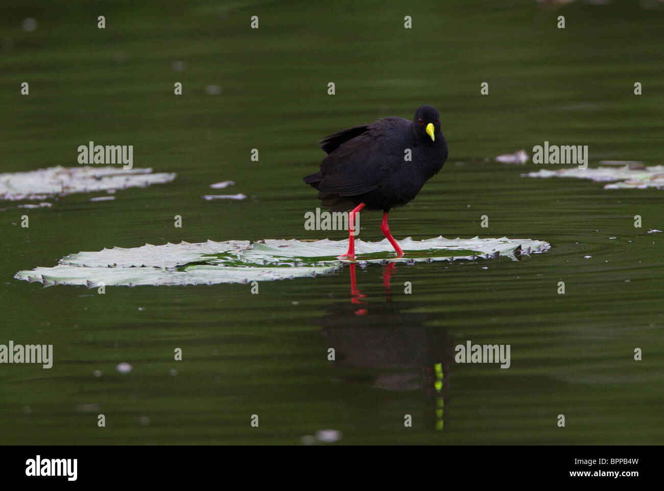 Black Crake on Lily Pad - Stock Image