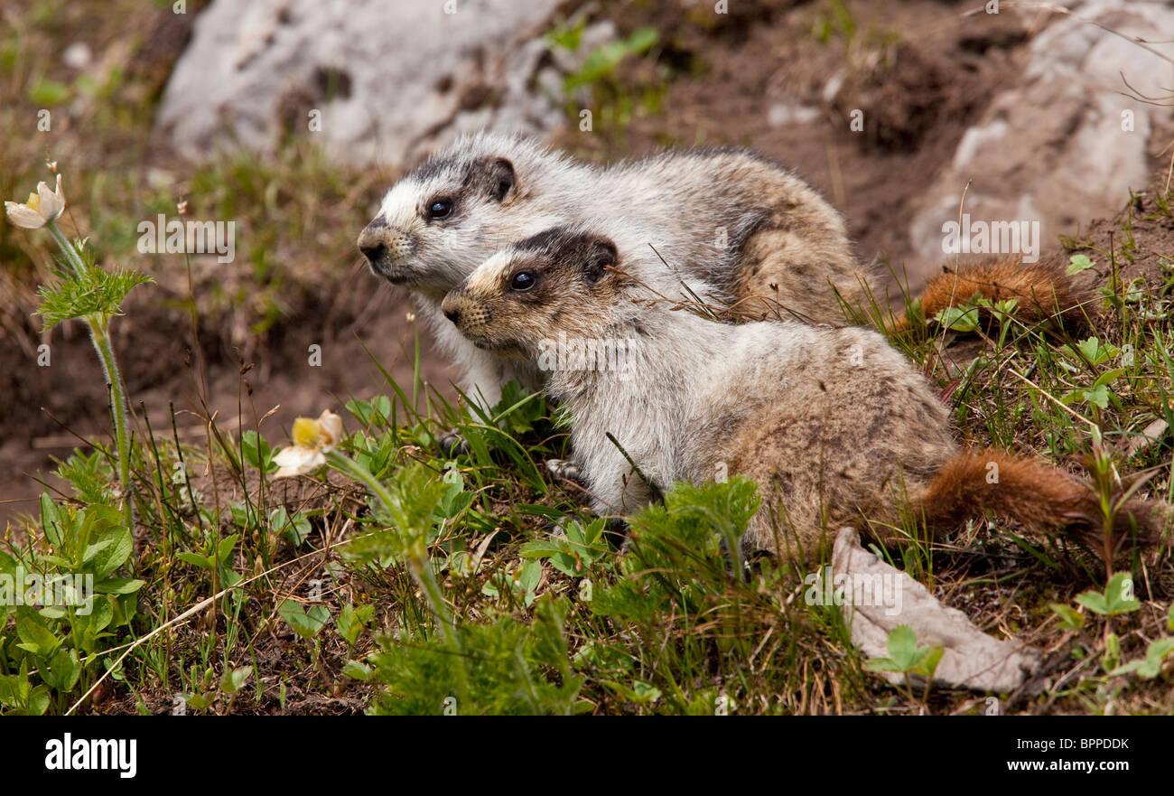 Two Hoary marmots, Marmota caligata above Chester Lake - Peter Lougheed Provincial Park near Kananaskis, Rockies, - Stock Image