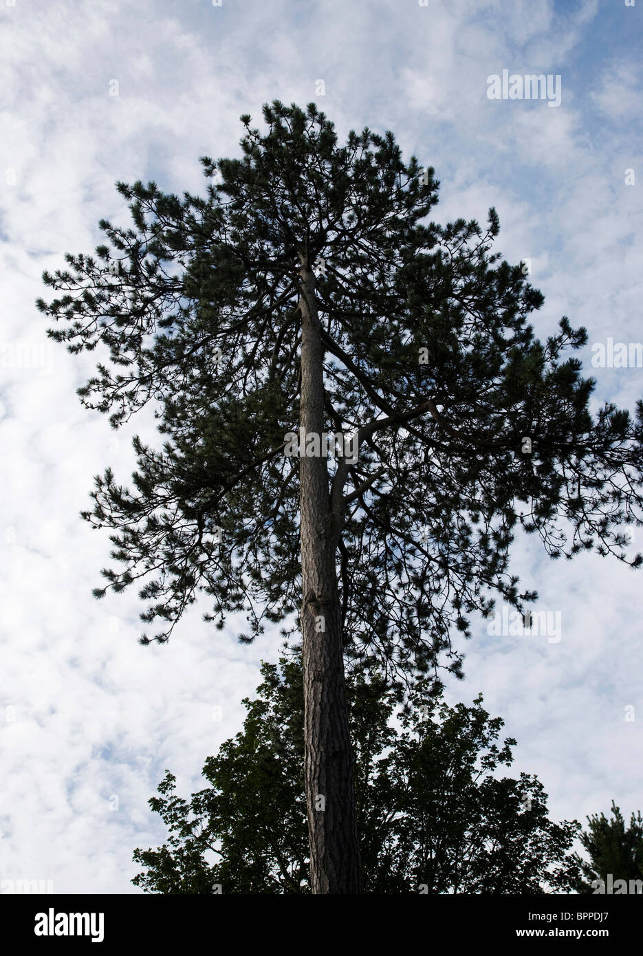 Tall Conifers in a Wood - Stock Image