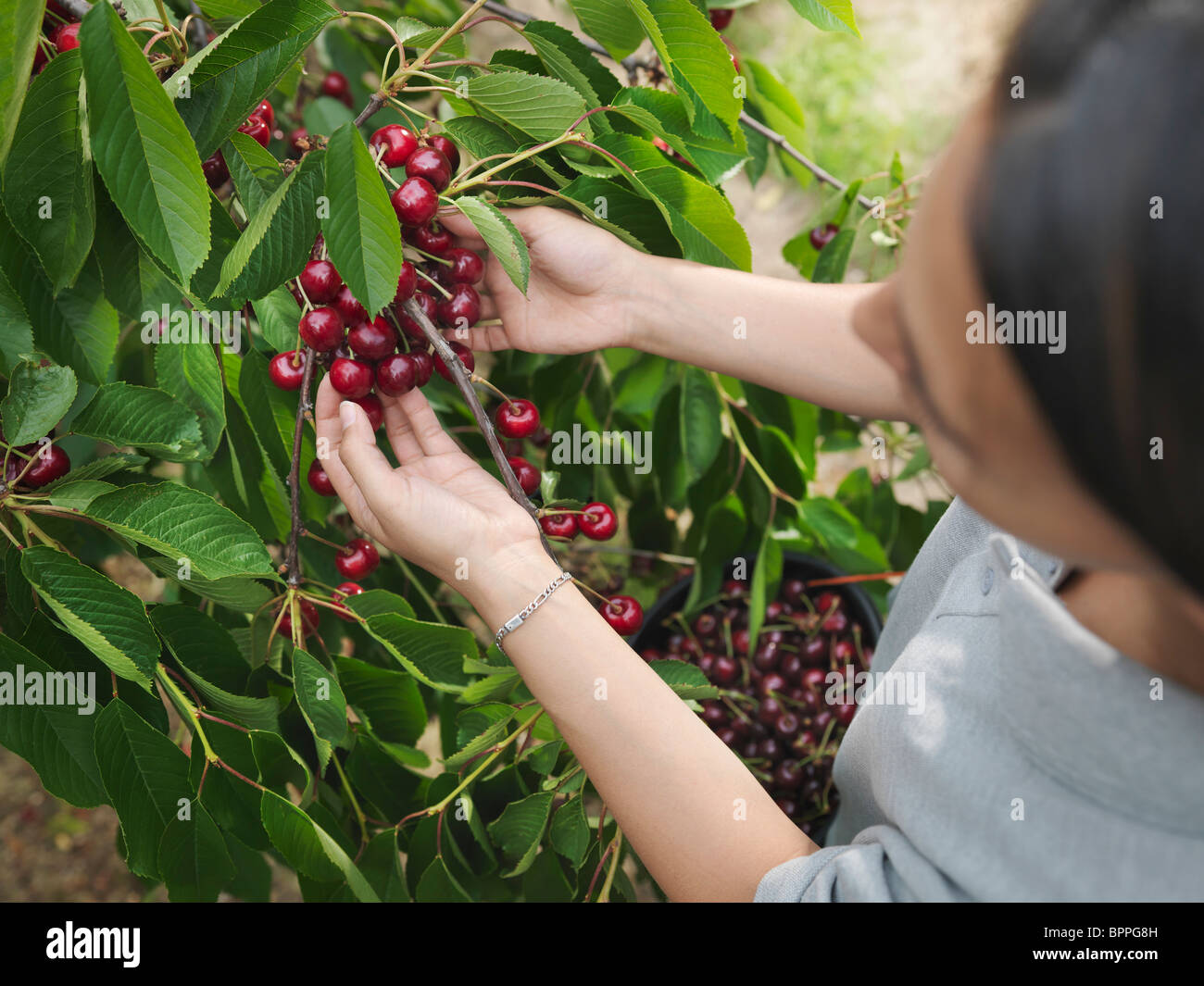 Woman picking cherries from tree - Stock Image