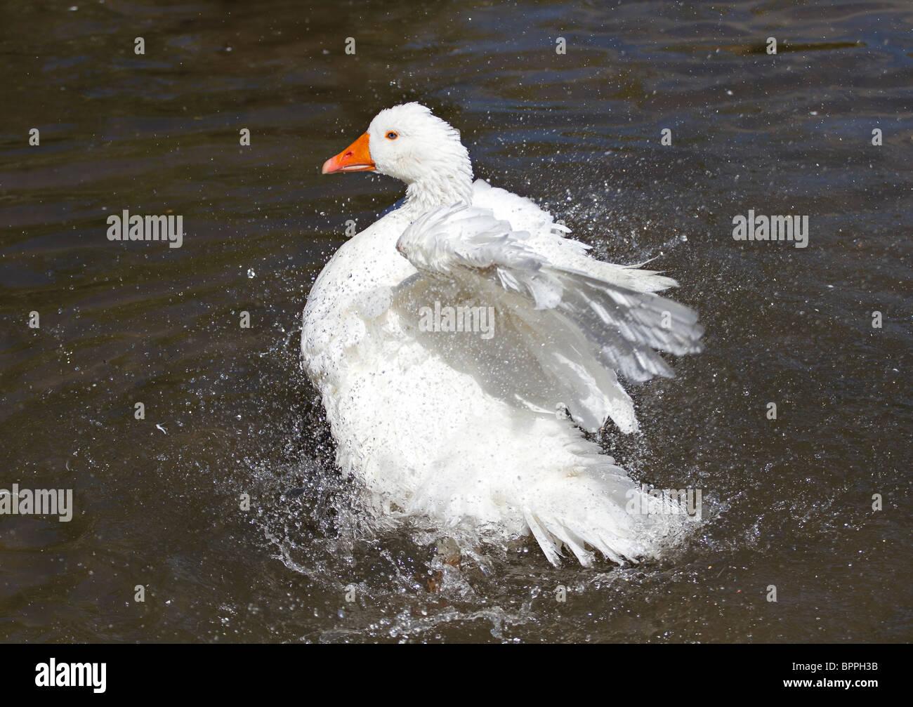 Aylesbury duck bathing - Stock Image