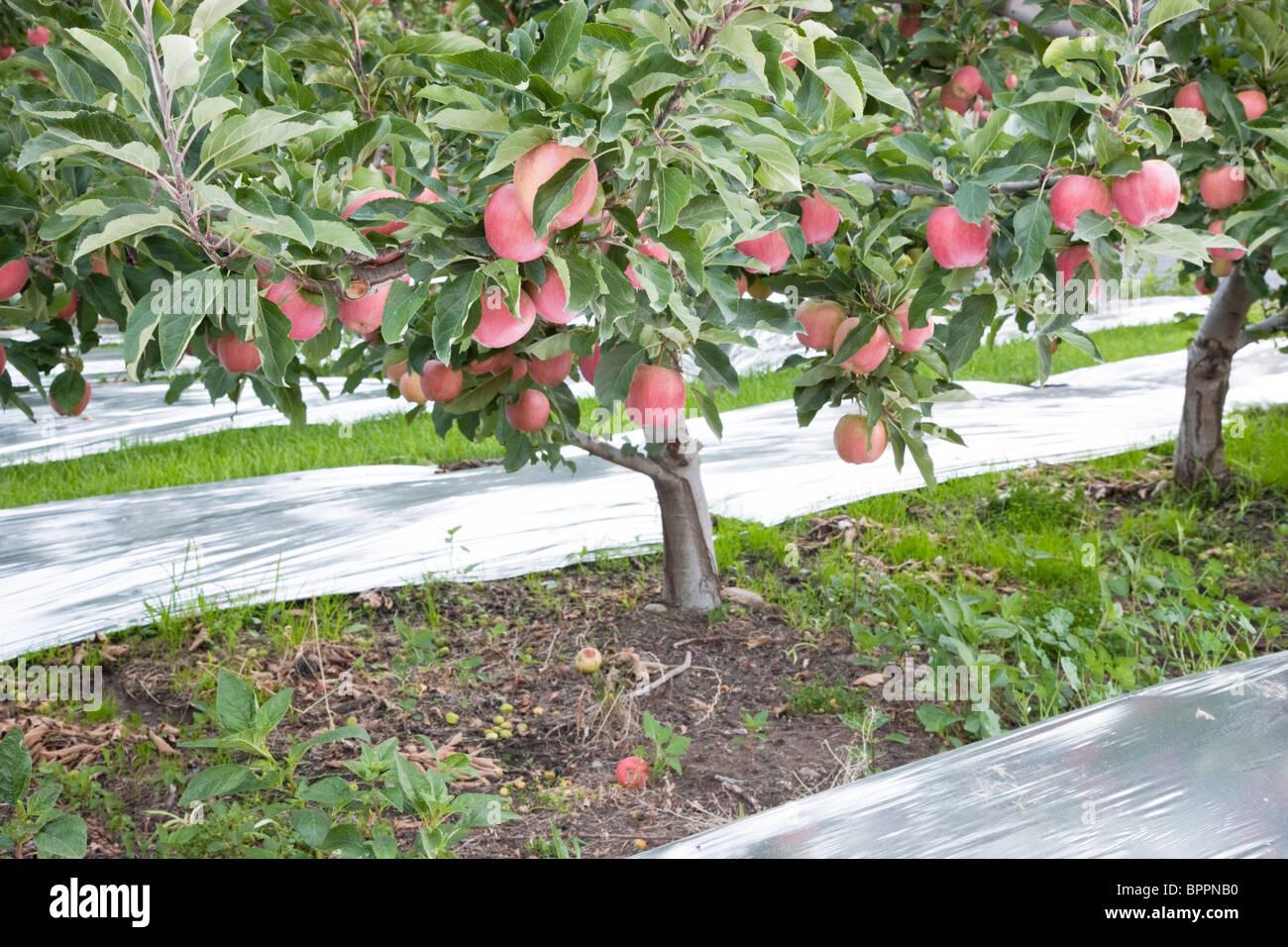 Apple  'Gala' orchard, reflective Mylar. - Stock Image