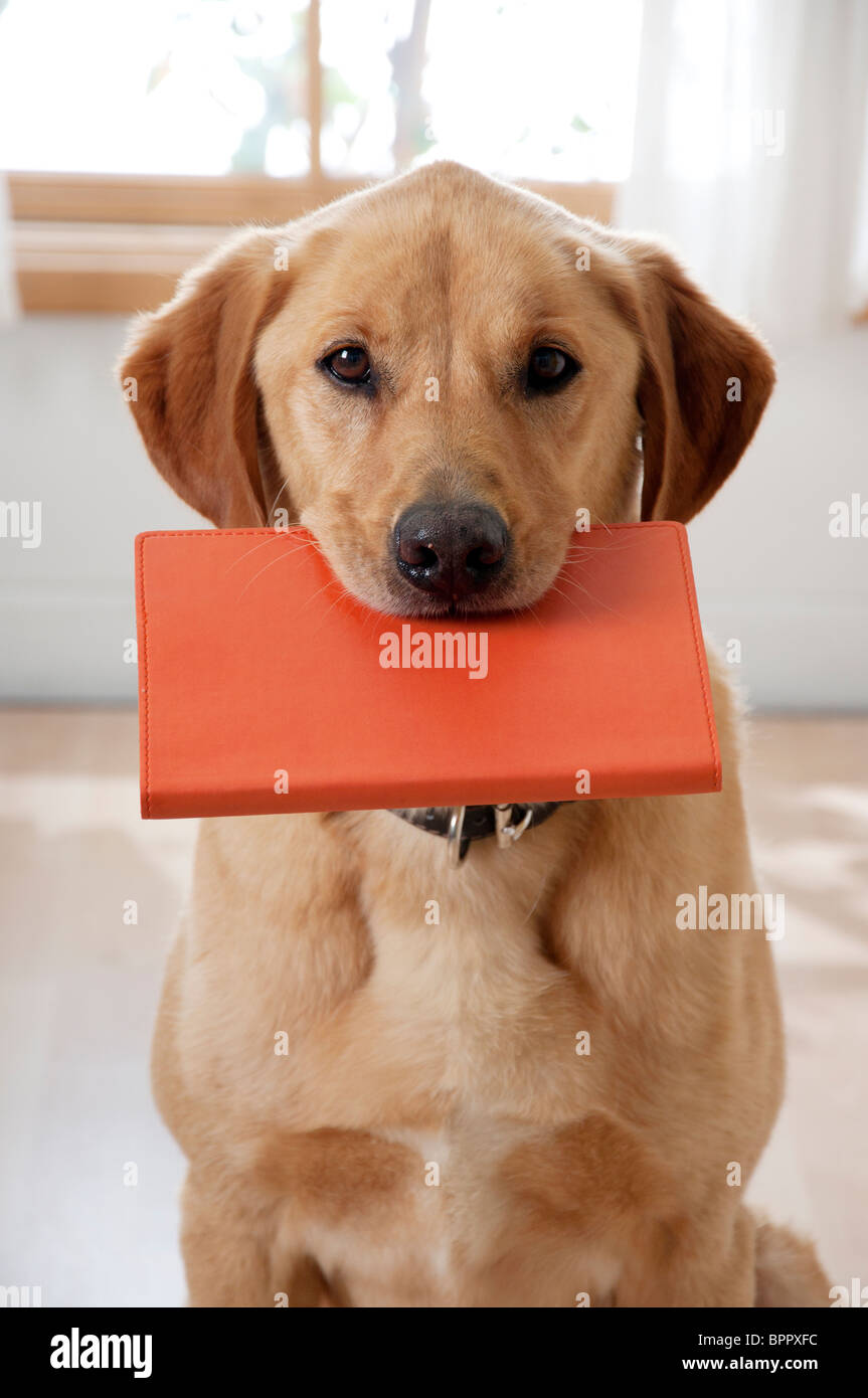 dog has eye contact with viewer while holding book in mouth - Stock Image
