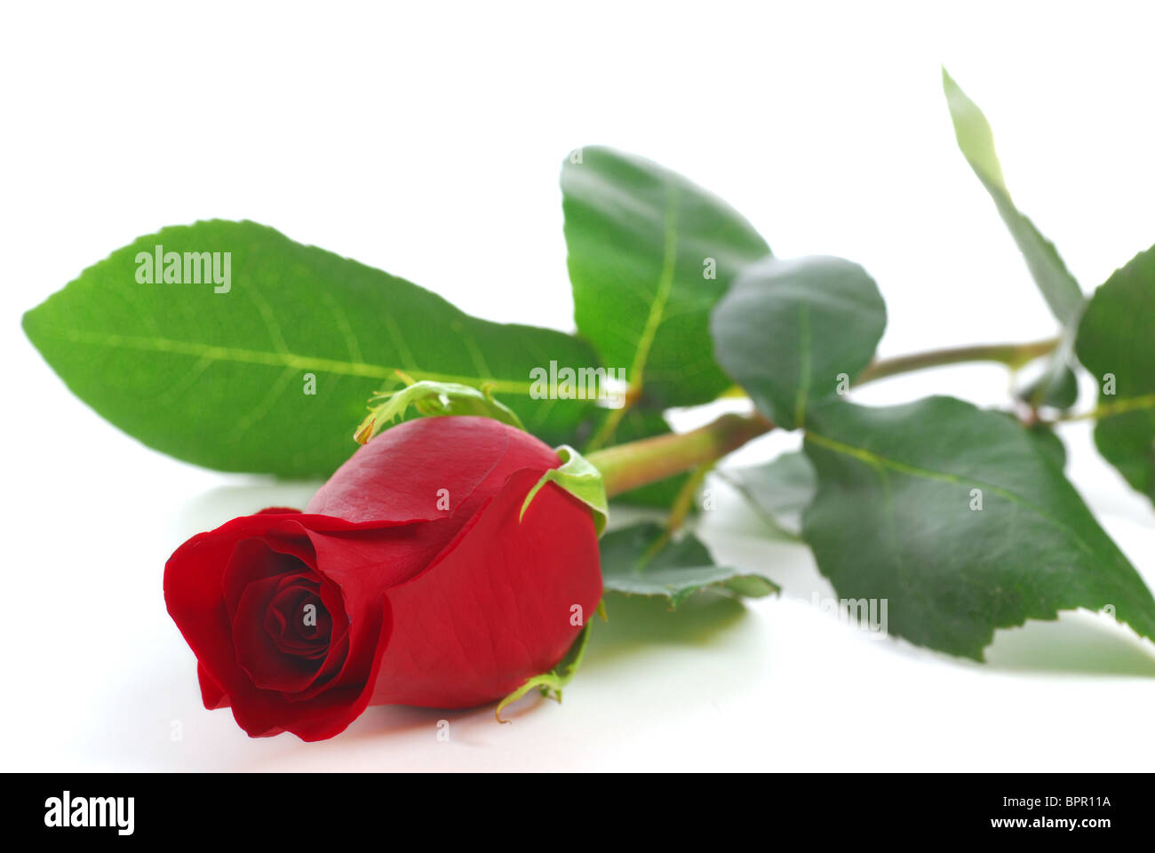 Red rose on white background - Stock Image