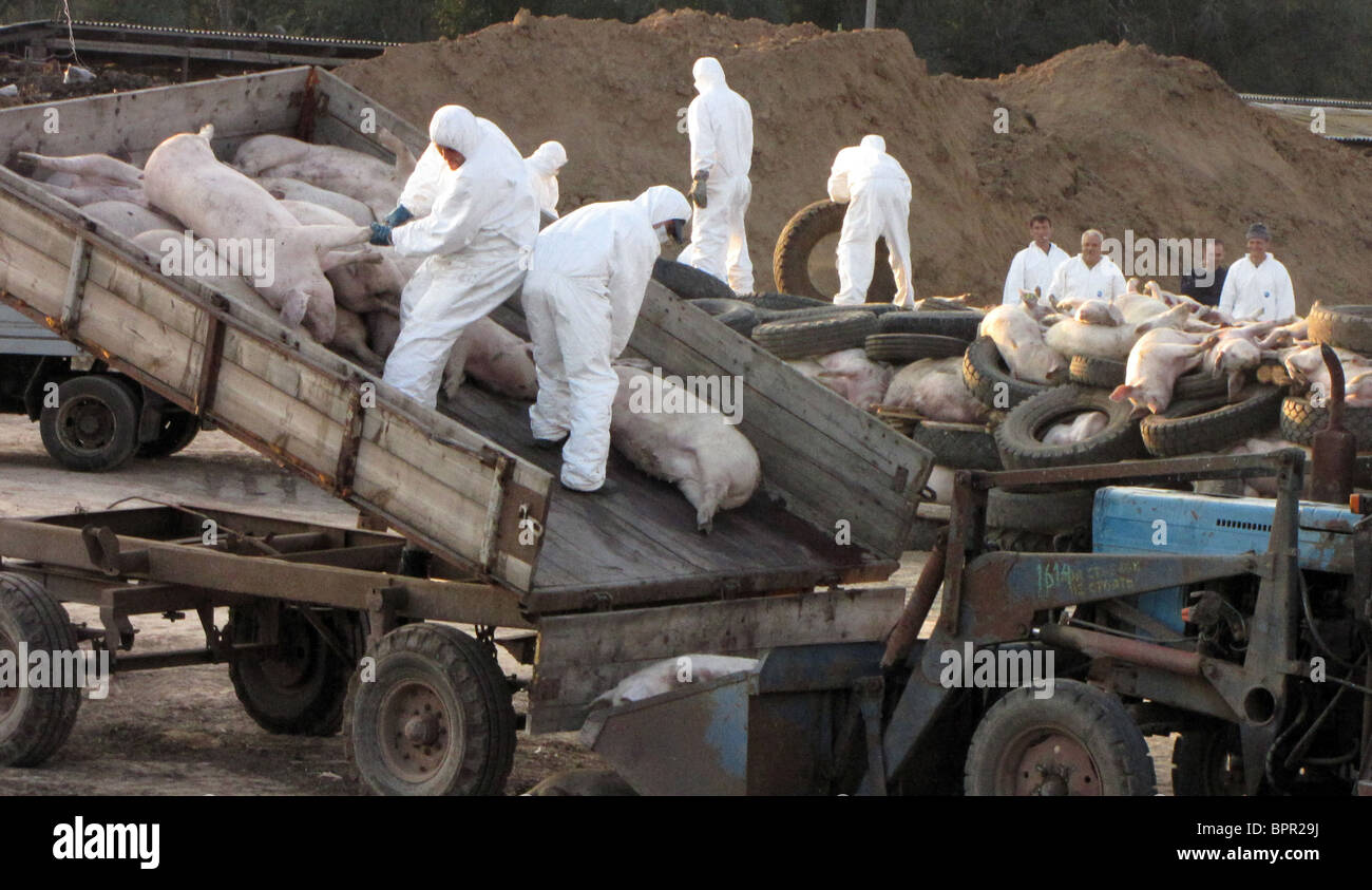 Outbreak of African swine fever in South Russia Stock Photo