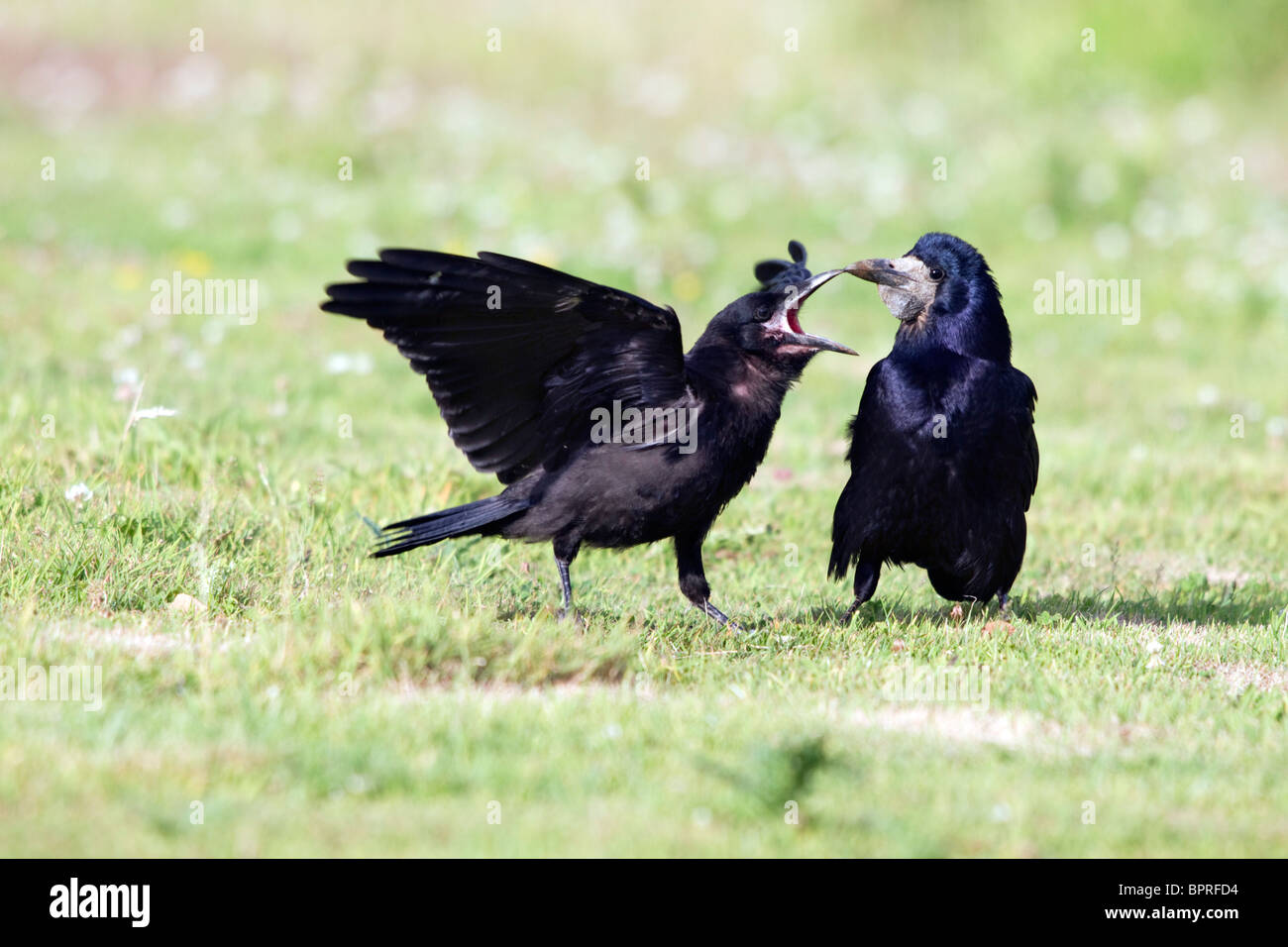 Rook; Corvus frugilegus; young rook pestering adult for food - Stock Image