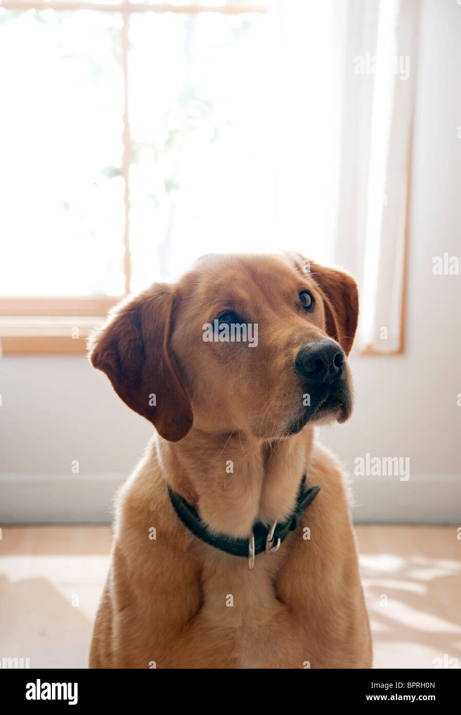 cute dog inside home - Stock Image