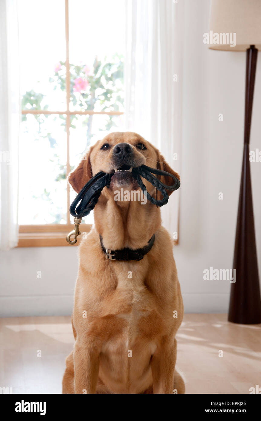 Pet dog fetched leash to go for a walk - Stock Image