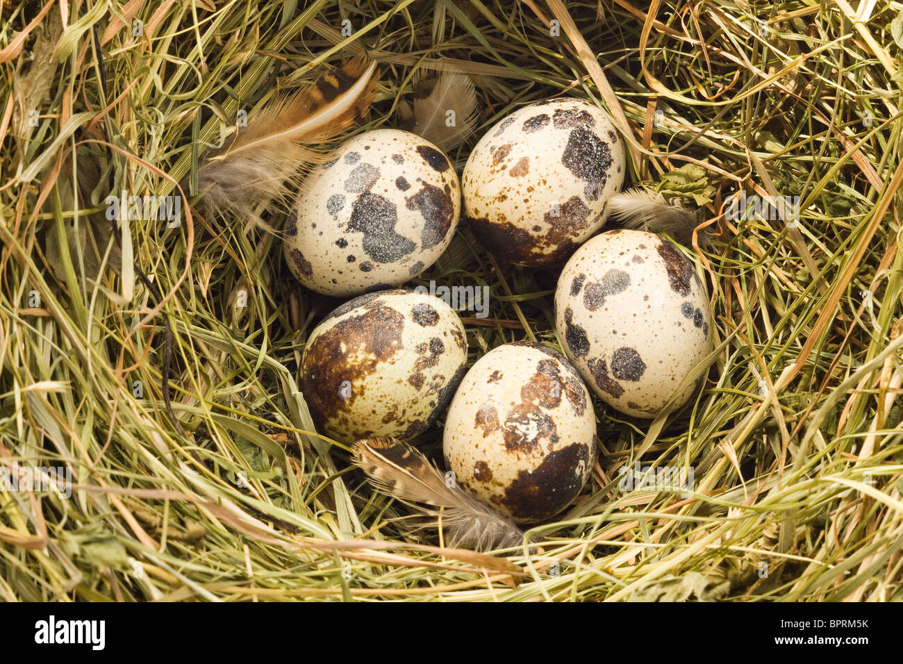 Close up view of the quail nest - Stock Image