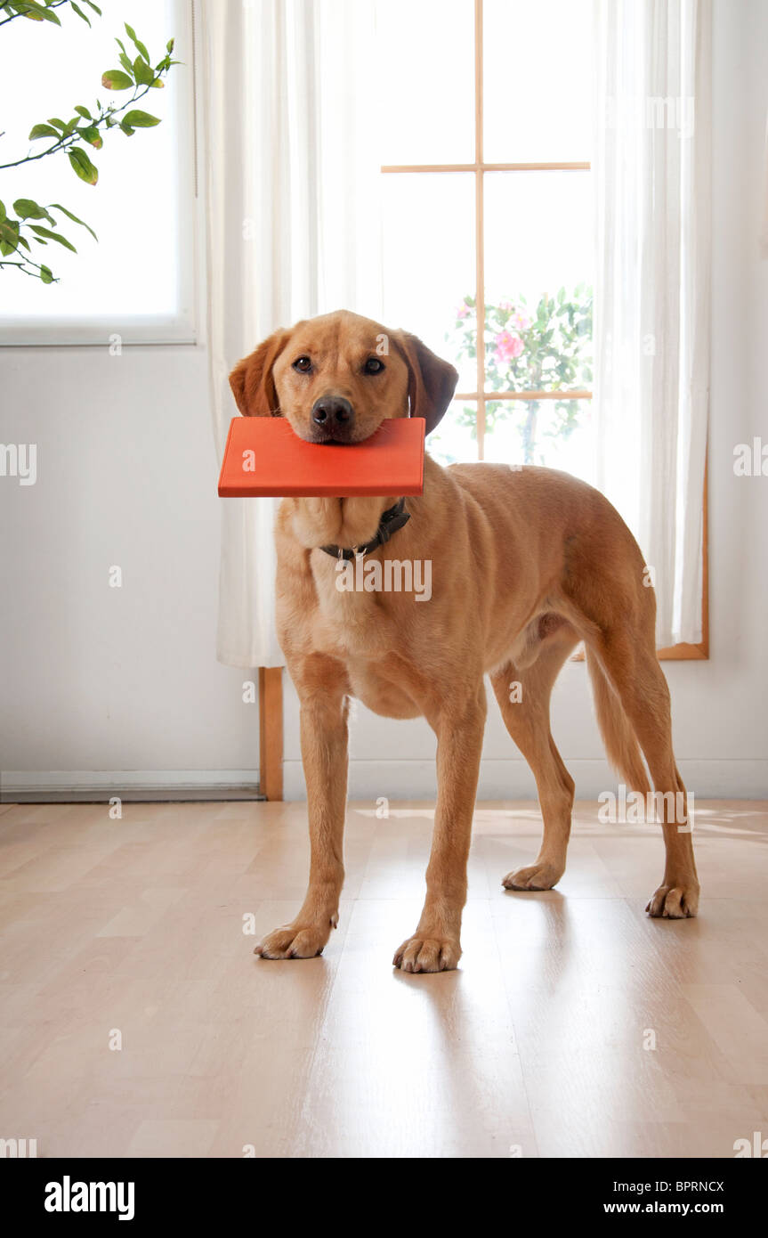 golden lab retrieves book - Stock Image