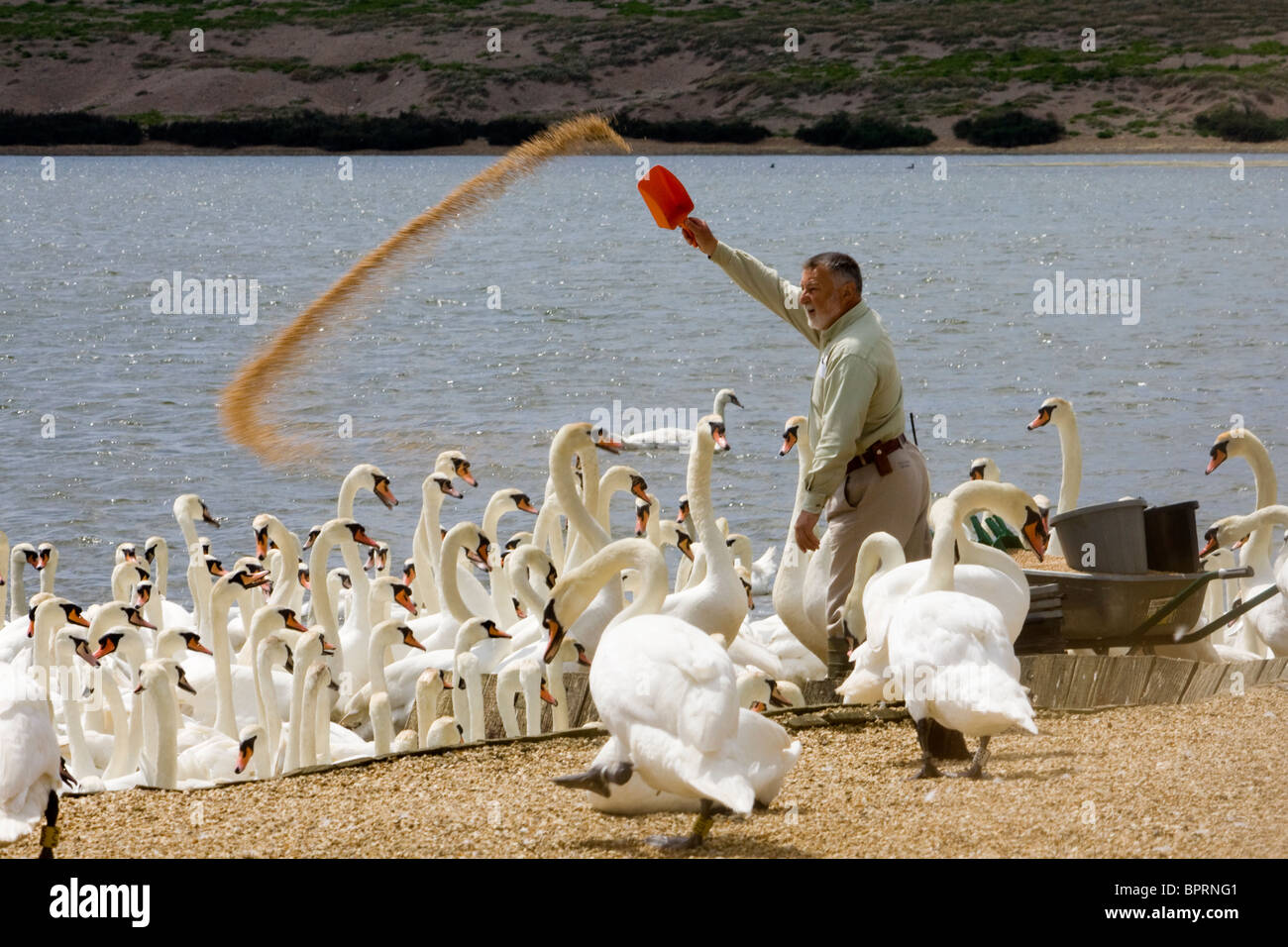 Keeper feeding mute swans at Abbotsbury Swannery in Dorset - Stock Image